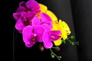 Orchidée mantis passion